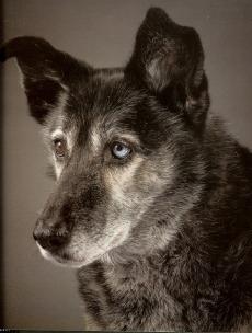 Tessa (alaska husky)